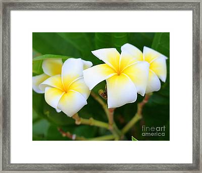White And Yellow Pumeria Framed Print