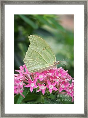 Framed Print featuring the photograph White Angled Sulphur by Judy Whitton