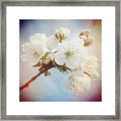 White Apple Blossom In Spring Framed Print