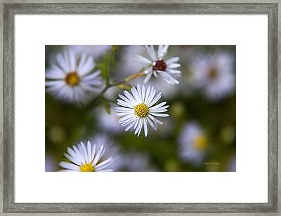 White Aster Flower Framed Print by Christina Rollo