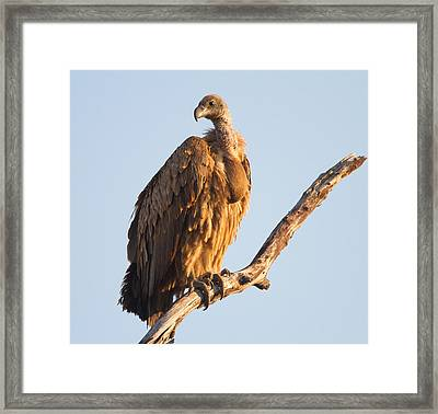 White Backed Vulture Framed Print by Craig Brown