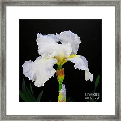White Bearded Iris Framed Print by Scott Cameron