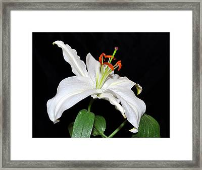 White Beauty Framed Print by Lula Adams