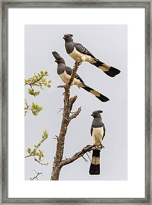 White-bellied Go-away Birds Framed Print by Panoramic Images