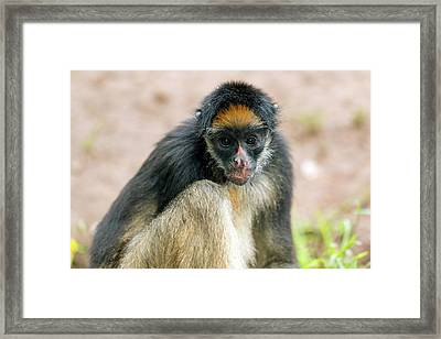 White-bellied Spider Monkey Framed Print by Dr Morley Read