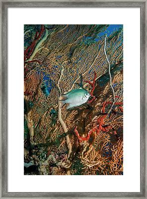 White-belly Damselfish Framed Print by Georgette Douwma