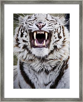 White Bengal Tiger At Forestry Farm Framed Print by Chad Coombs