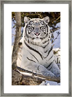 White Bengal Tiger, Forestry Farm Framed Print by Chad Coombs