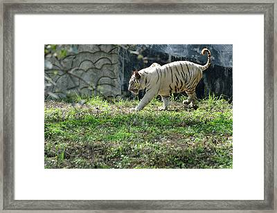 White Bengal Tiger Framed Print by Heiti Paves