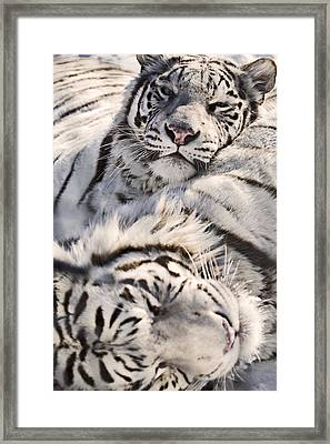 White Bengal Tigers, Forestry Farm Framed Print by Chad Coombs