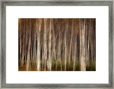 White Birch Abstract Framed Print by John Vose