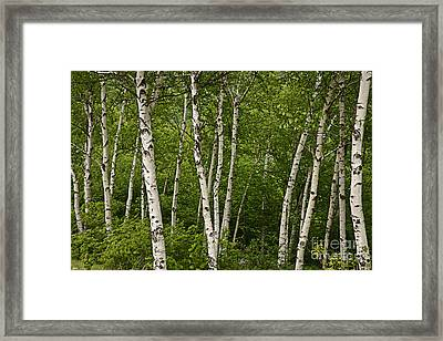 White Birch Framed Print