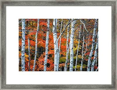 White Birch Forest - White Mountains Framed Print