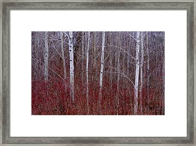 White Birch In The Adirondacks Framed Print by Karen Molenaar Terrell