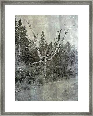 White Birch Last Statement  Framed Print