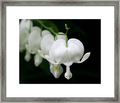 White Bleeding Hearts Framed Print by Rona Black