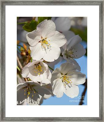 White Blossoms Framed Print by Dale Nelson