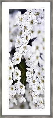 White Blossoms Framed Print by Frank Tschakert