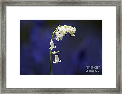 White Bluebell Framed Print by Tim Gainey