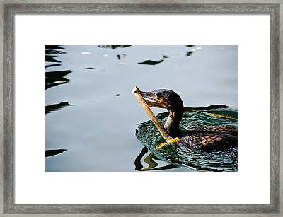 White Breasted Cormorant Framed Print by Bonnie Fink