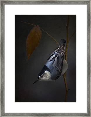 White Breasted Nuthatch Framed Print by Ron Jones