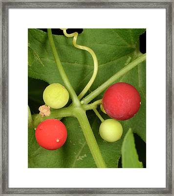 White Bryony Berries Framed Print by Nigel Downer