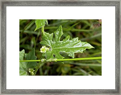 White Bryony (bryonia Dioica) In Flower Framed Print by Bob Gibbons