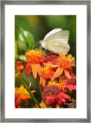 White Butterfly On Mexican Flame Framed Print by Debra Martz