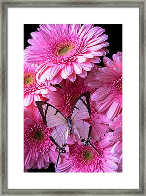 White Butterfly On Pink Gerbera Daisies Framed Print by Garry Gay