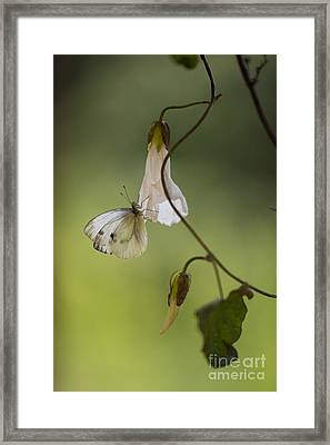White Butterfly With Dots Sitting On The Branch Framed Print by Jaroslaw Blaminsky
