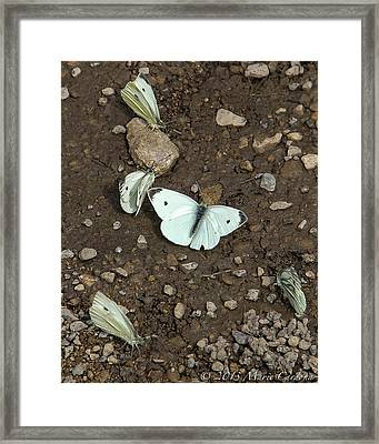 White Cabbage Butterflies Framed Print by Marie  Cardona