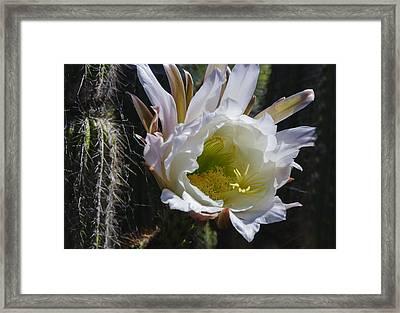 White Cactus Bloom Framed Print