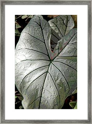 White Caladium Framed Print by Suzanne Gaff