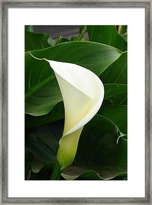 Framed Print featuring the photograph White Calla by Lew Davis