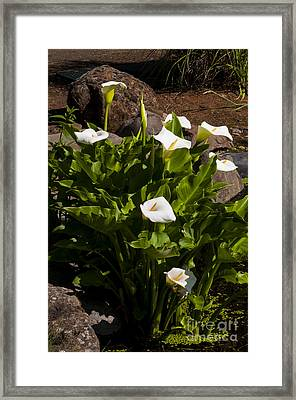White Calla Lilly Framed Print by Mandy Judson