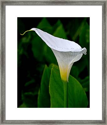 White Calla Framed Print by Rona Black