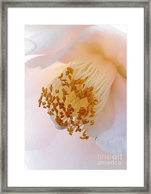 White Camellia Closeup Framed Print by Carol Groenen