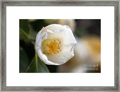 White Camellia  Framed Print by Joy Watson