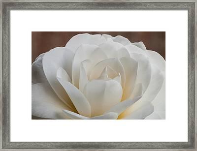 White Camellia Framed Print