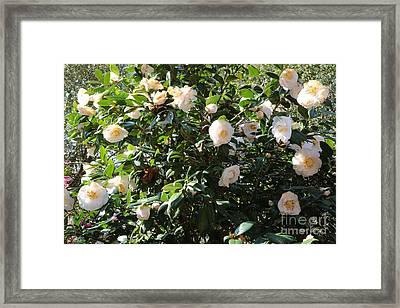 White Camellias Framed Print by Carol Groenen
