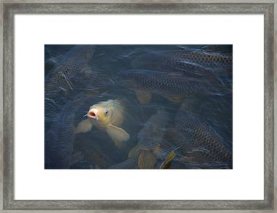 White Carp In The Lake Framed Print