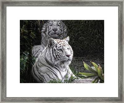 White Cats Framed Print by Joachim G Pinkawa
