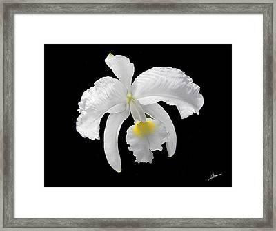 White Cattleya Orchid Framed Print by Phil Jensen