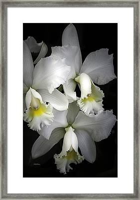 White Cattleya Orchids Framed Print by Julie Palencia