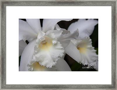 White Cattleyas Orchids 1 Framed Print by Chris Scroggins