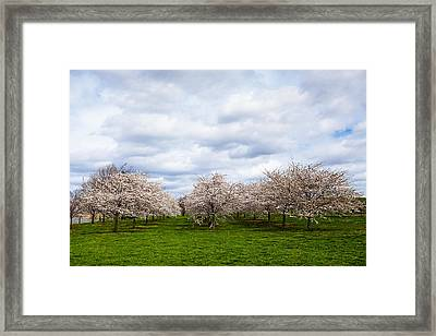 White Cherry Blossom Field In Maryland Framed Print