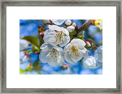 White Cherry Blossoms Blooming In The Springtime Framed Print