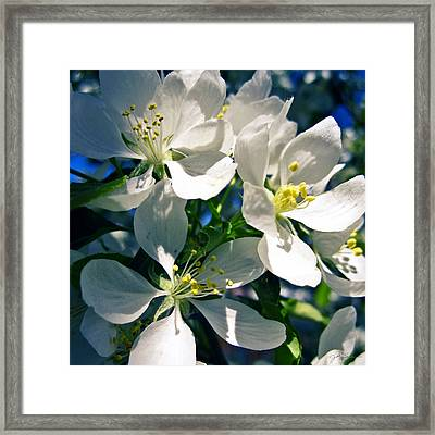 White Cherry Blossoms In The Spring Framed Print