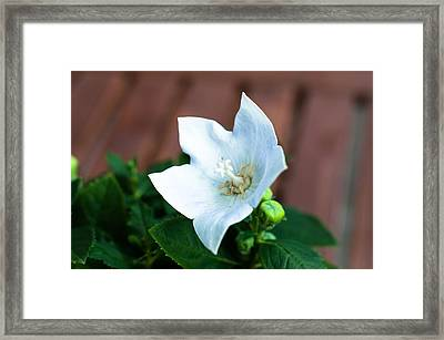 White Chinese Bellflower Framed Print by Frank Gaertner