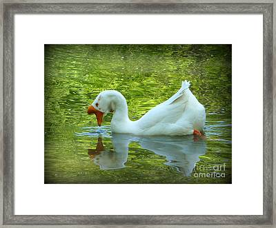 White Chinese Goose Curtsy  Framed Print